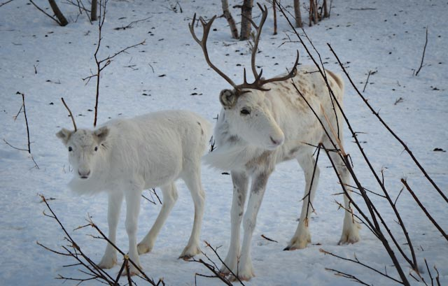 Reindeer herding is a cornerstone of arctic indigenous life across Scandinavia and Eurasia. Photo: Alizé Carrère