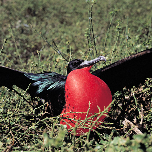 Male Great Frigatebird displaying his distinctive inflated throat pouch to attract a mate. (Wes Walker)