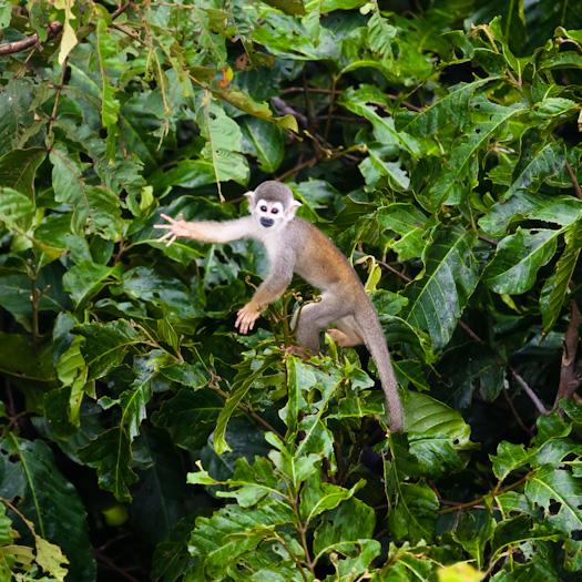 Capuchin monkey. (Weston Walker)