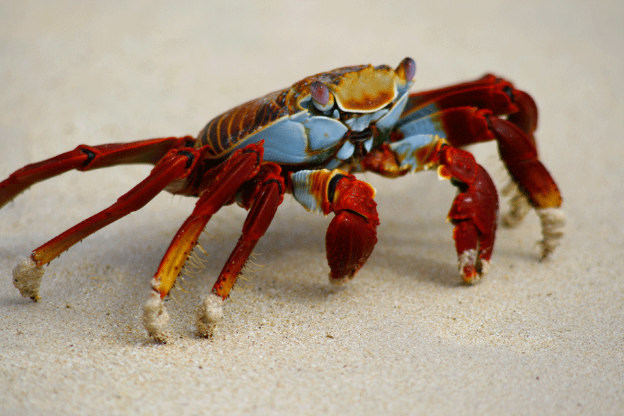 Sally Lightfood Crab
