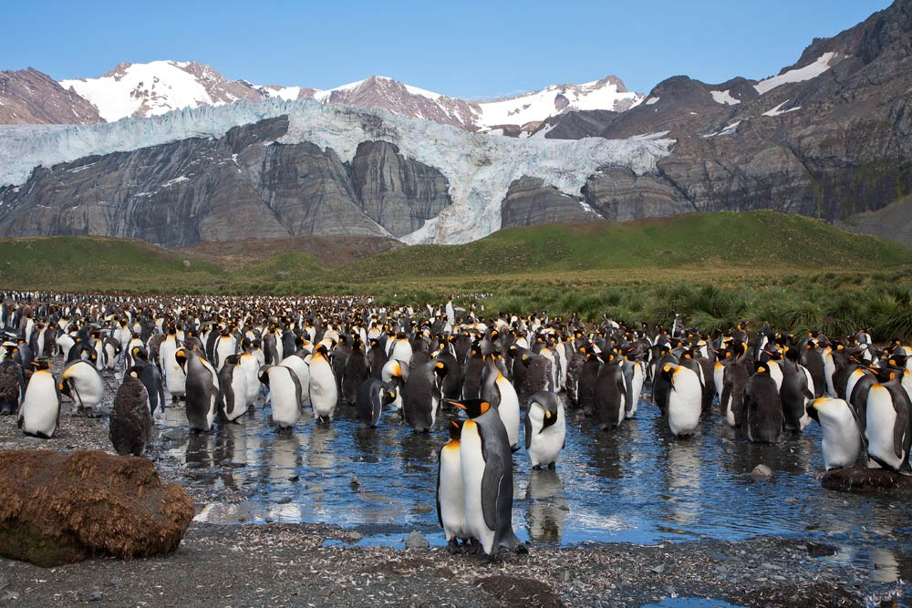 King penguin colony on South Georgia.  Photo: Ira Meyer