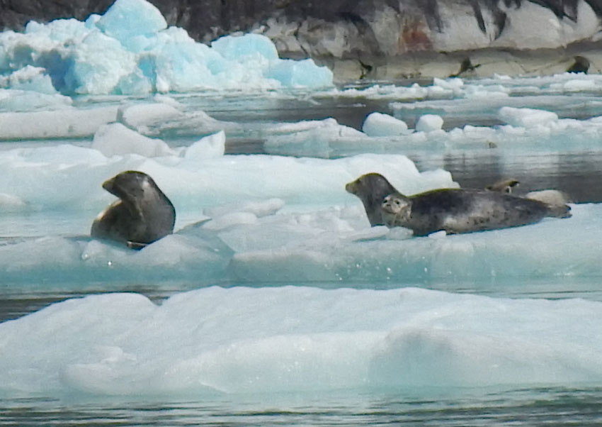 Harbor seals relaxing on icebergs