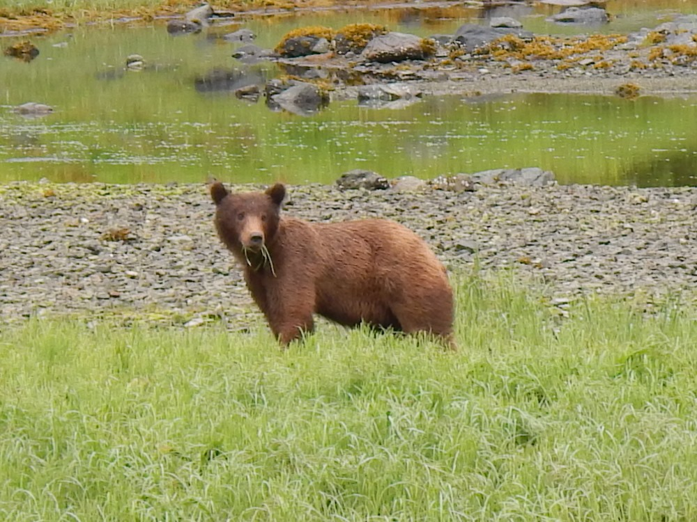 Brown Bear grazing en route to Lake Eva
