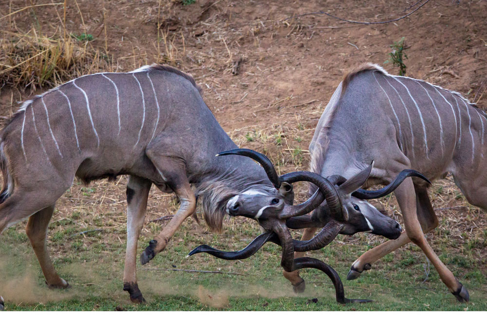 04-chongwe-kudu.jpg