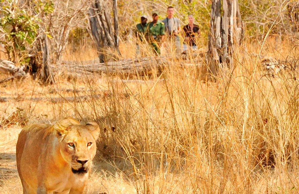 10-luangwa-lion.jpg