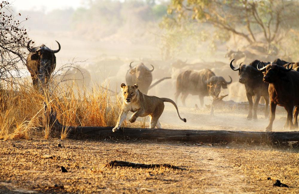 14-luangwa-lion.jpg