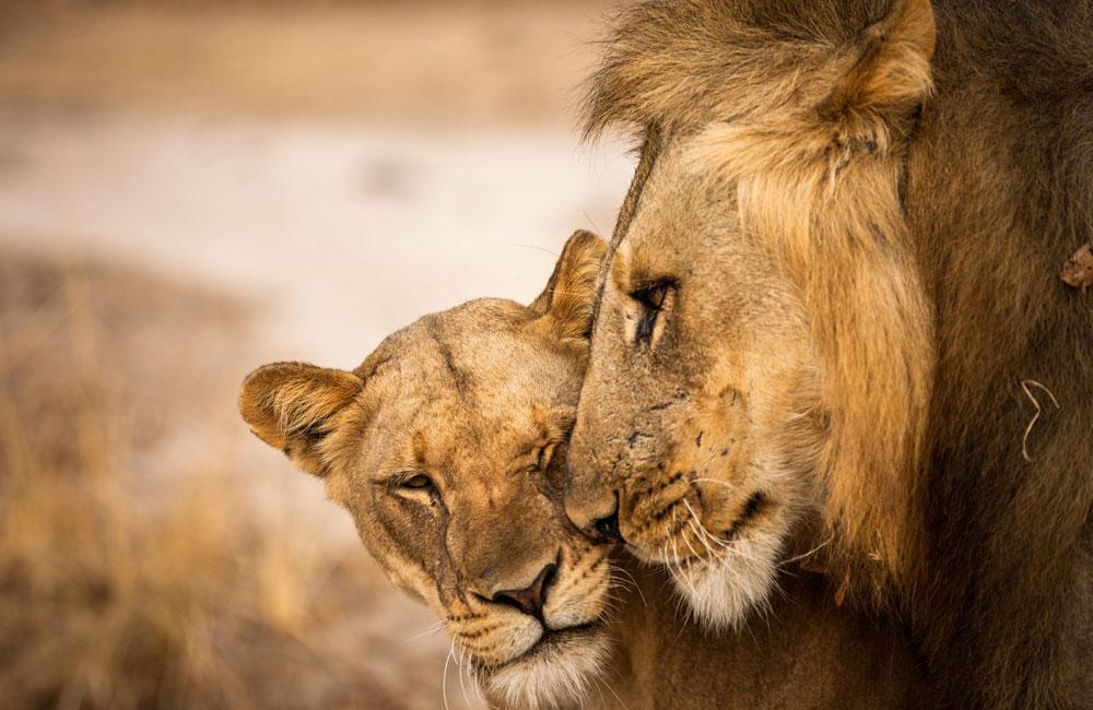 18-luangwa-lions.jpg