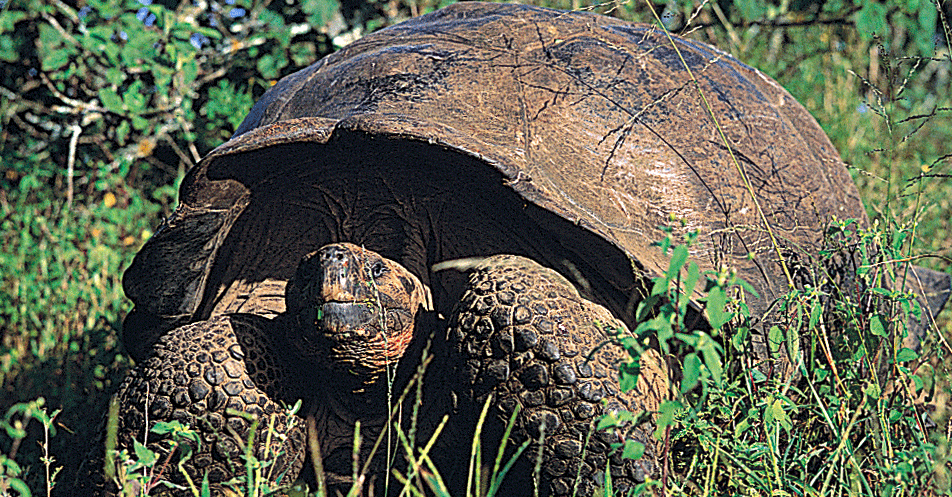 Galapagos Giant Tortoise Photo: Wes Walker