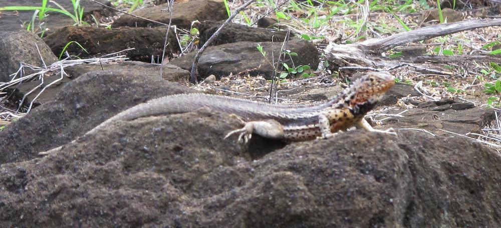 Lava Lizard Microlophus Albemarlensis