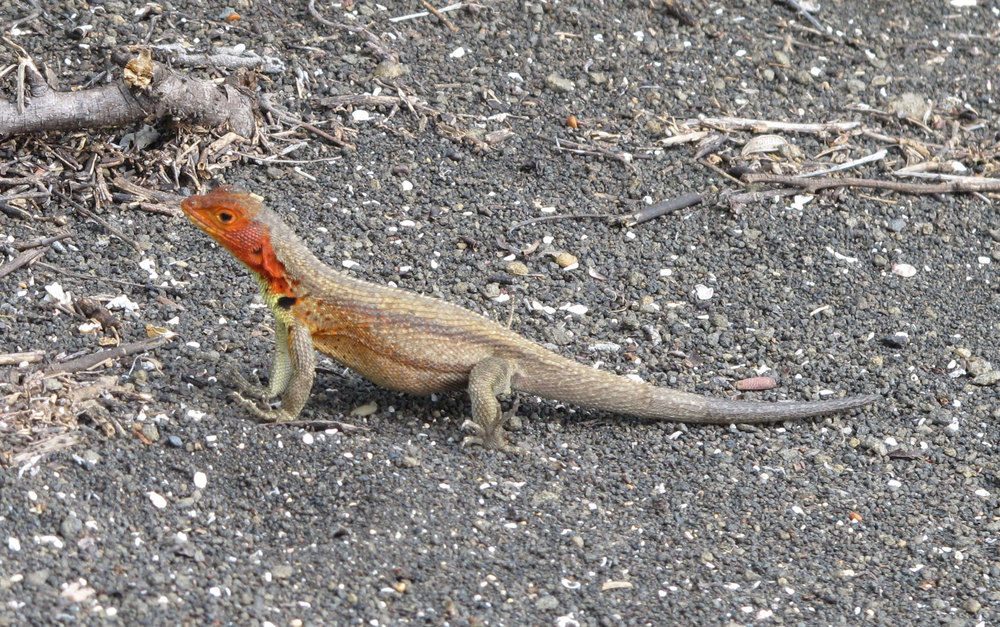 Femal Lava Lizard with distinctive red-orange throat.