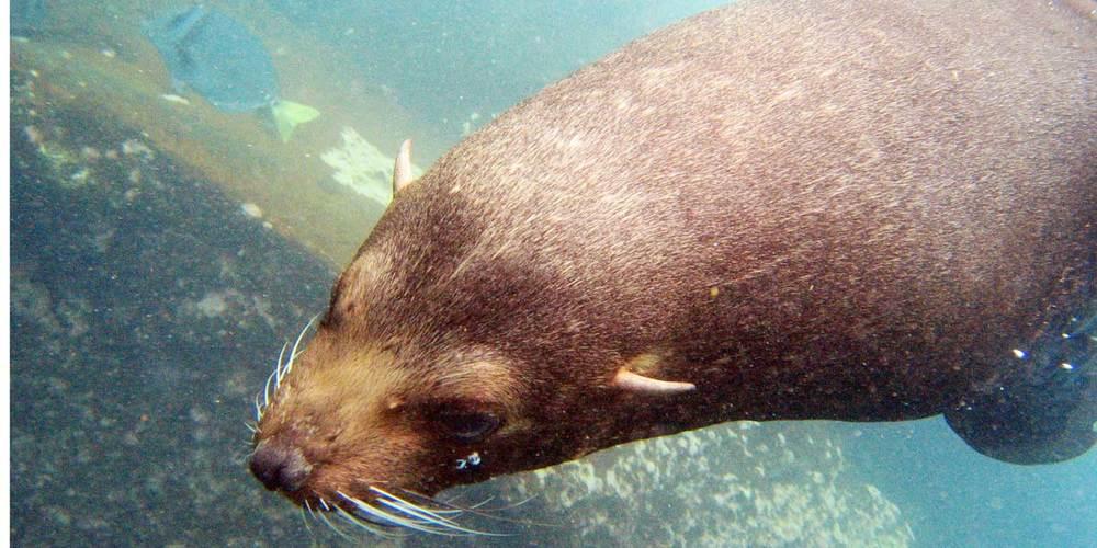 A rare encounter with a Galápagos Fur Seal while snorkeling