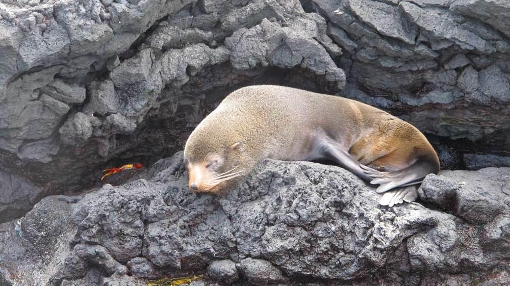 Galápagos Fur Seal resting on the rocks at Puerto Egas, Santiago