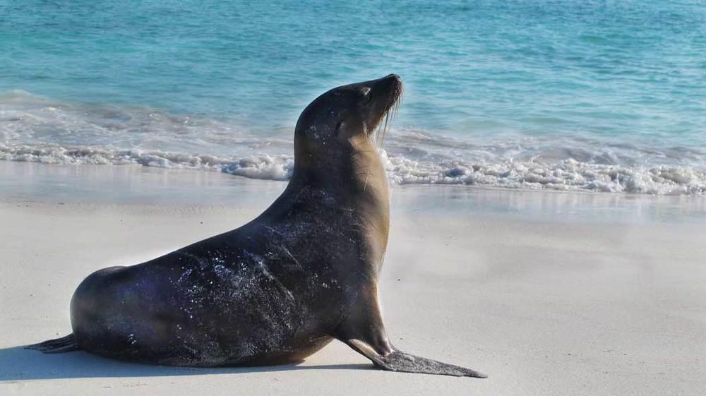 Galápagos Sea Lion in profile on the beach at Gardner Bay,Española