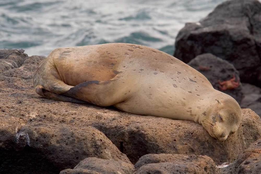 Galápagos Fur Seal mom at Puerto Egas, Santiago.