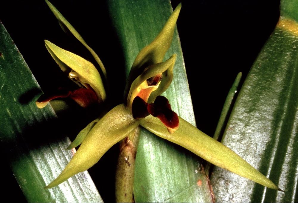 Maxillariinae