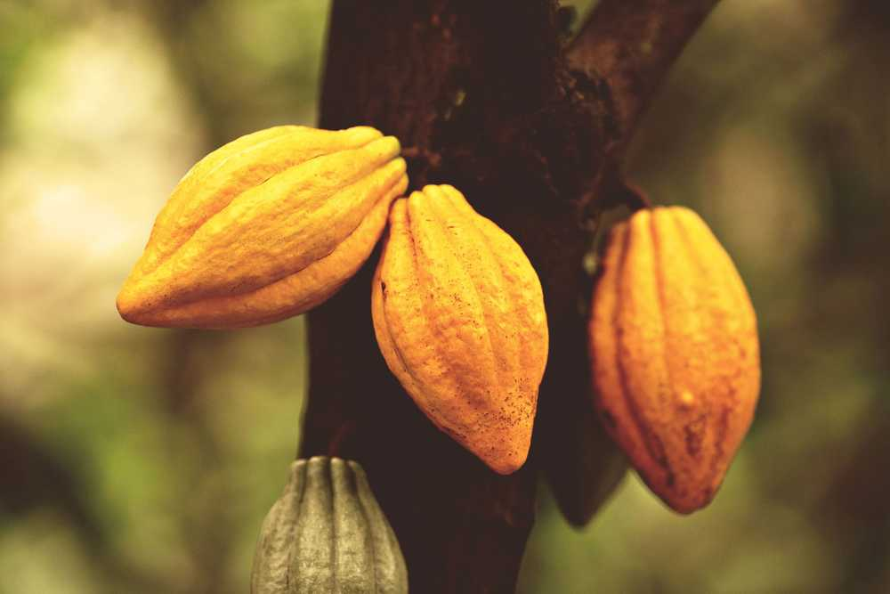 Cacao beans ready for cultivation. Photo: Ecuador Ministry of Tourism