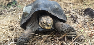 Tortoises on Santa Fe.    Photo: Galapagos Conservancy