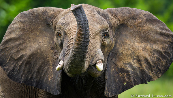 Curious elephant.  Photo: Will Burrard-Lucas