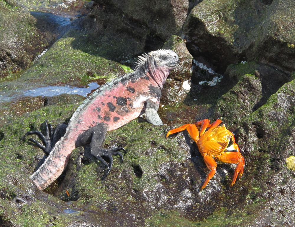 Brightly colored Española subspecies A. c. venustissimus shares a tidal rock with a Sally Lightfoot crab at Gardner Bay.  Photo: Alan Abonyi