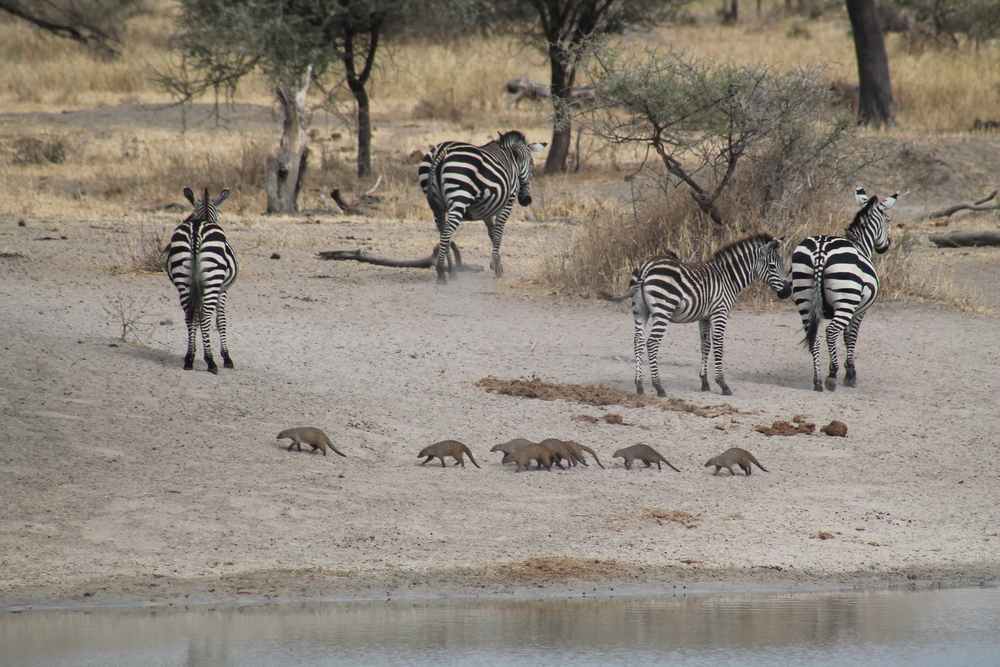 Zebras and mongoose