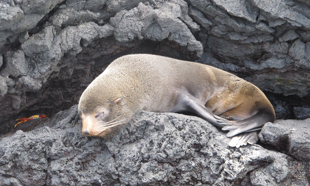 Galápagos Fur Seal at Puerto Egas.  Photo © Alan Abonyi