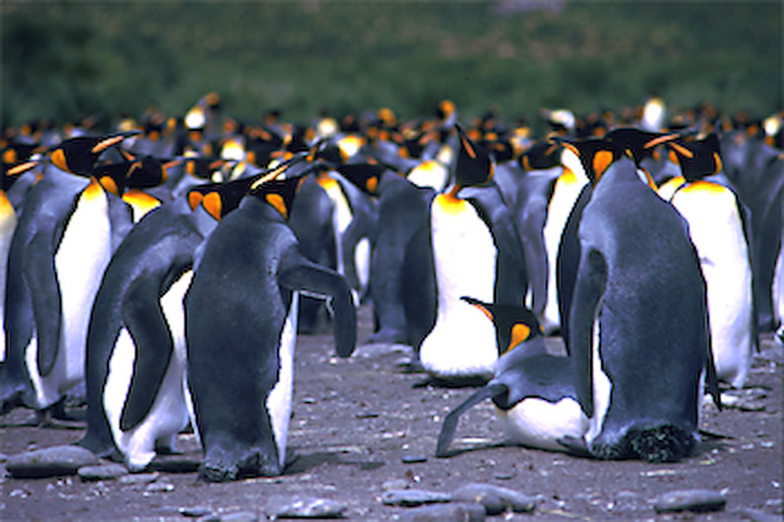 King penguins by the thousands at South Georgia.  Photo © INCA
