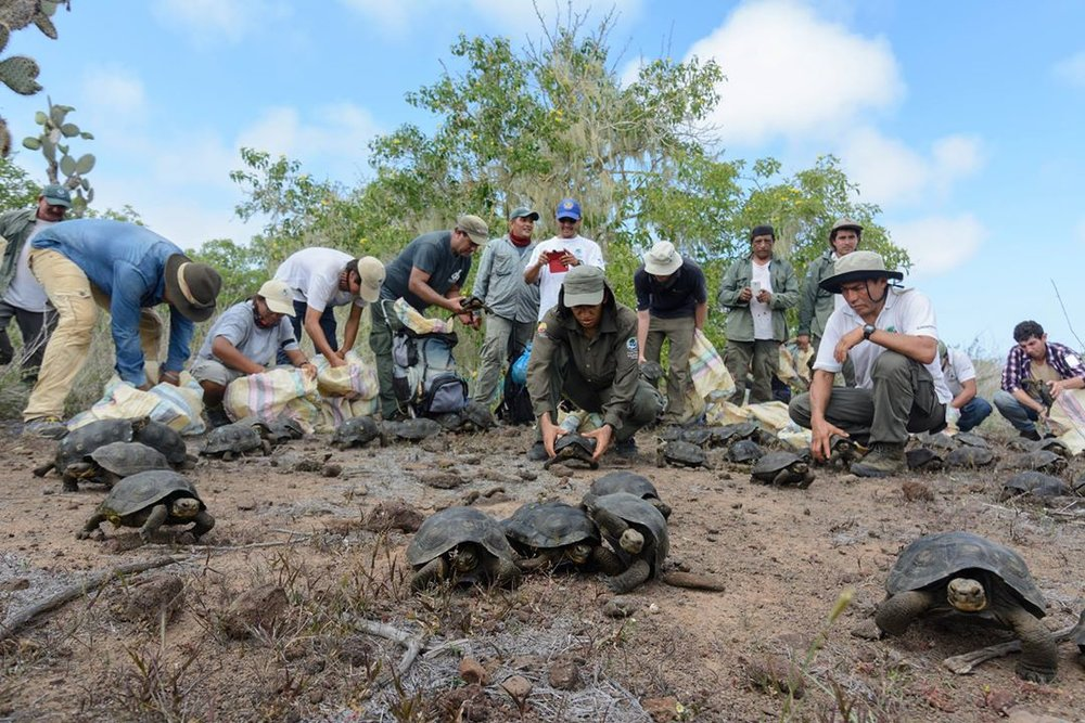 Scientists, rangers and volunteers releasing juvenile Giant tortoises on Santa Fé