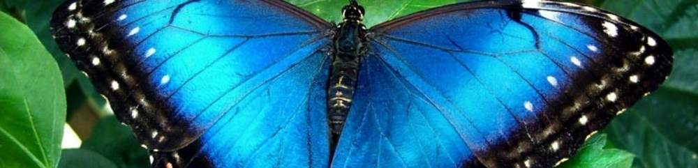 Giant blue morpho butterfly of Napo region