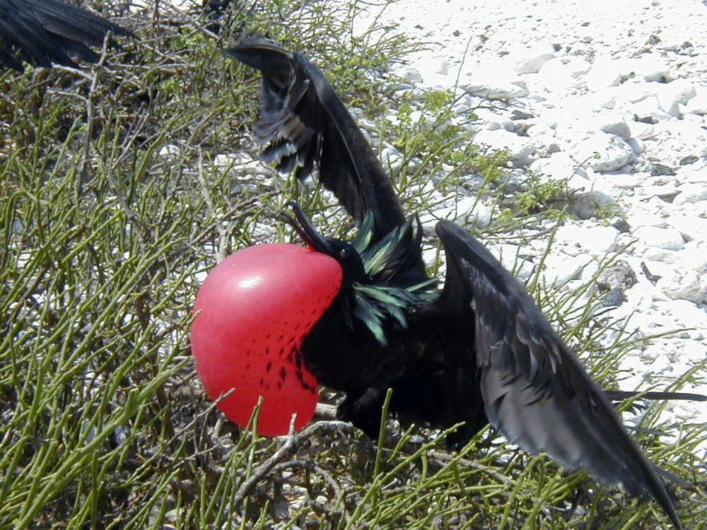 Copy of Great Frigatebird
