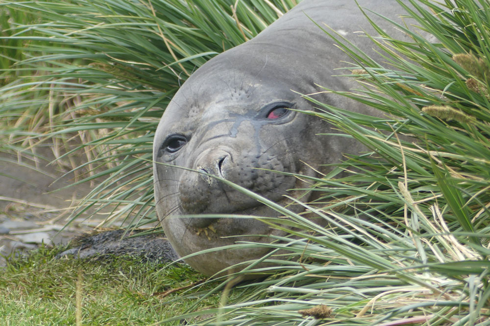 elephant_seal_richard_polatty.jpg