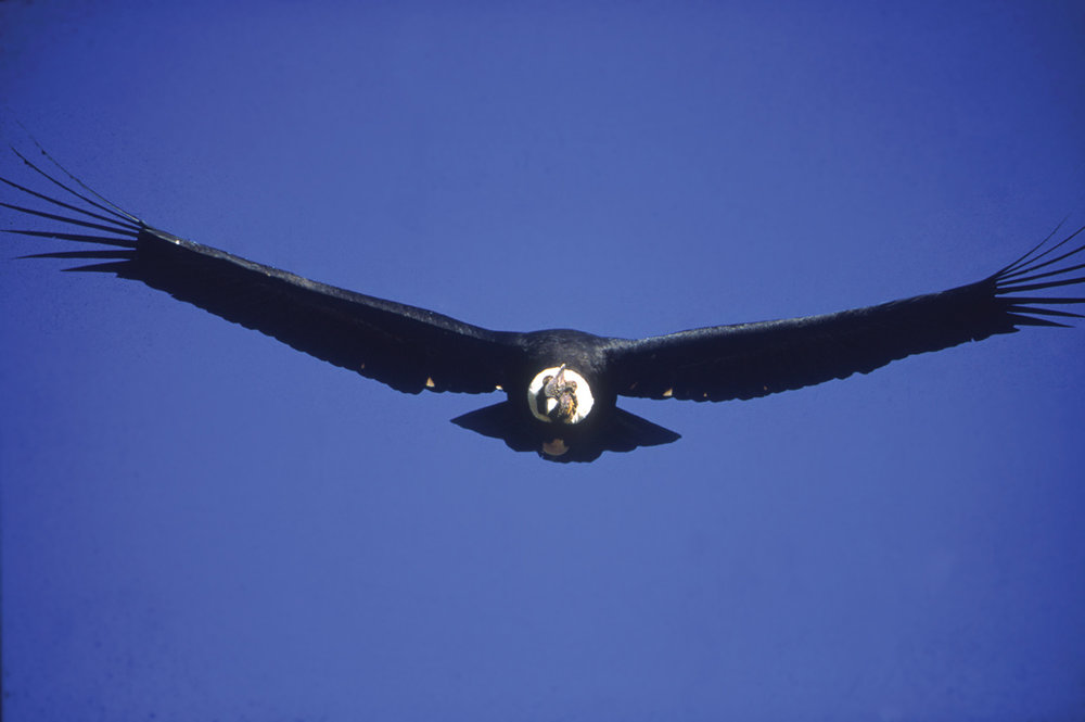 Zuleta Bears and Condors (7).jpg