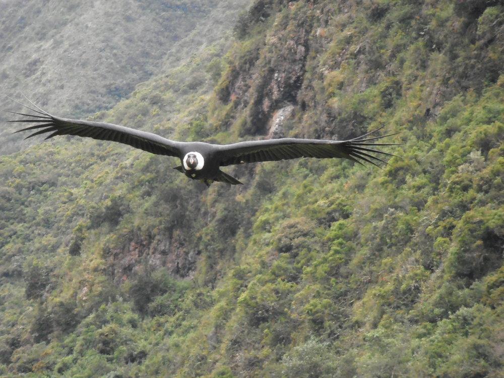 Zuleta Bears and Condors (5).jpg