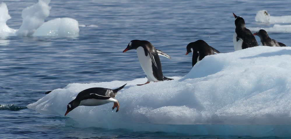 Gentoo penguins diving in to the frigid waters of Antarctica to fish