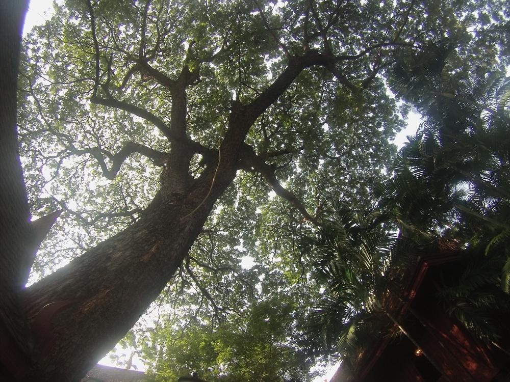 Thompson Tree