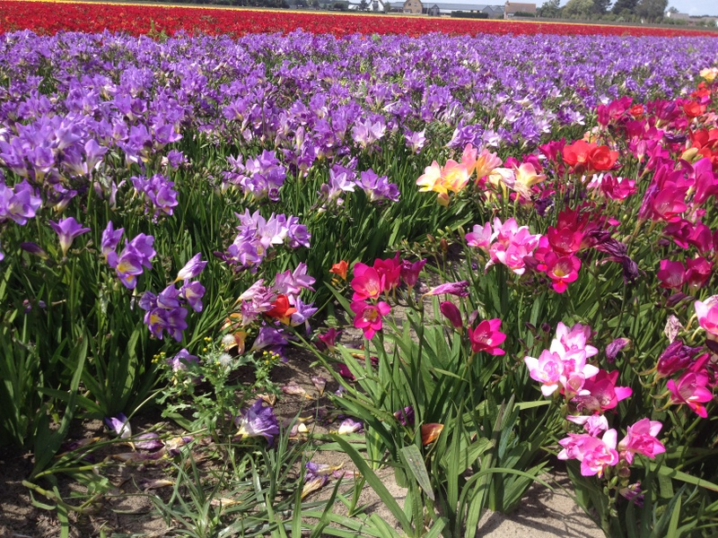 Freesias in Dutch flower fields