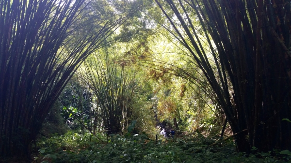 Bamboo cathedral on hike to Top River Falls at Parlatuvier