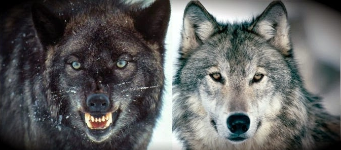 Two Wolves in us All