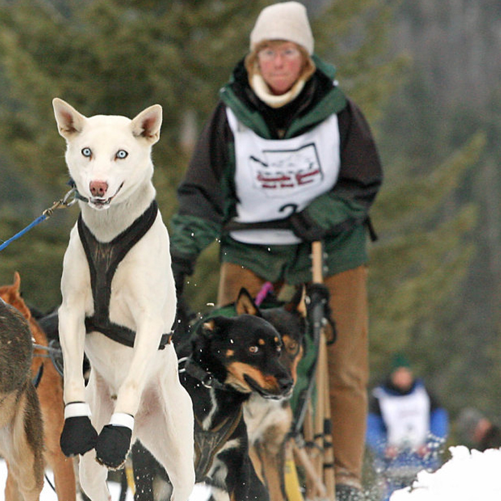 Wendy Riggs In 2006 I returned home to Montana. I met Steve Riggs, his kennel of beautiful pure bred Siberians and spent our first year together handling. It didn't take long before the mushing bug bit me and I put together my first team of Alaskans - special thanks to Allan Berge - Casper Wyo. I specialized in 6-8 dog mid distance races in MT, WY, WA, and ID. After 6 yrs of racing it was time for me to pass my dogs on to Steve and focus on other interests. I work at Kalispell Regional hospital in Oncology and help with the local cancer support groups and programs. During the summer months, Steve and I spend time on the trails with our horses Gypsy and Bugle, enjoying the mountains, lakes and rivers in the beautiful Flathead Valley.