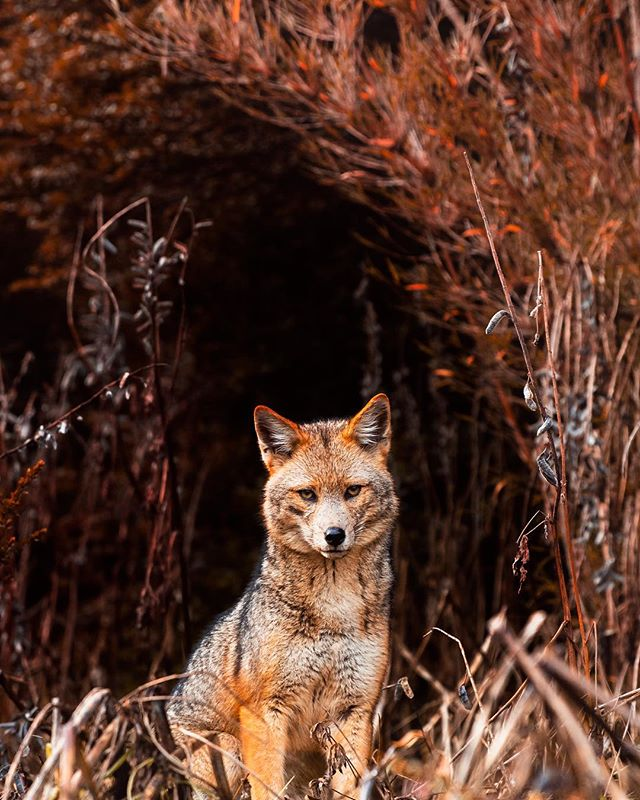 Until this trip I had never seen a fox in the wild - so stoked to have had a moment with this guy, even if for just a second 🦊 @visitargentina @turismovla #visitargentina #villalaangostura