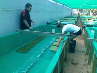 T he production staff resettling juvenile abalone into these new tanks