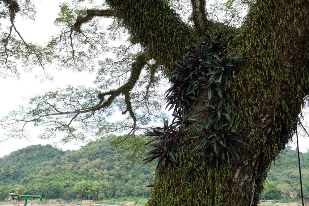 A real tree of life along the banks of the Mekong River.