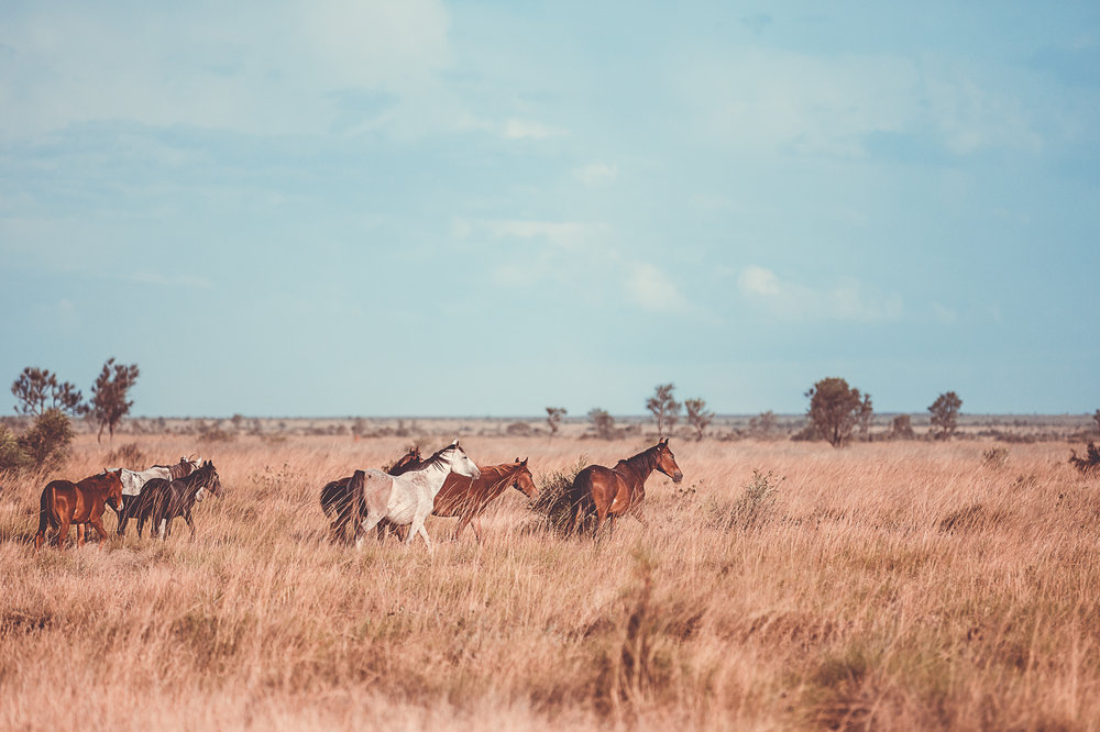 Desert brumbies - Beautiful beasts or feral pests    Tanami Desert, Warlpiri country, NT, 2016