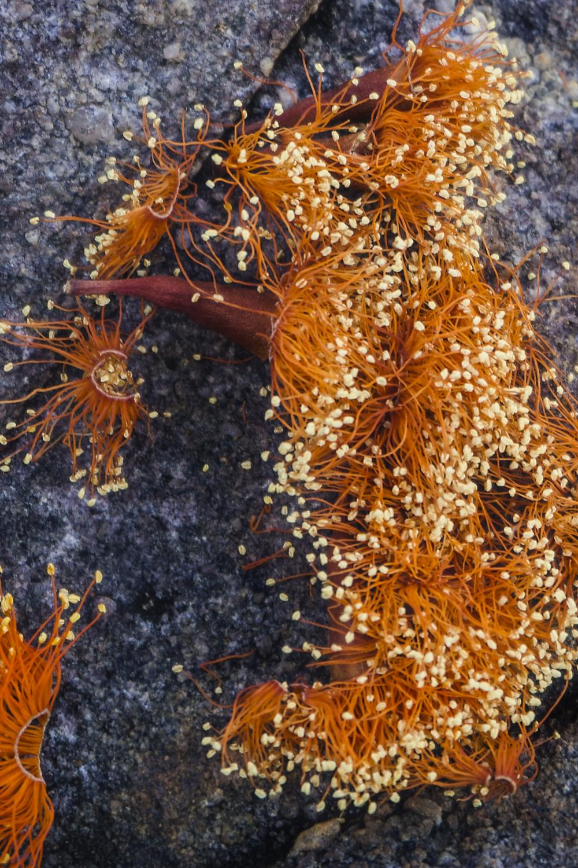 18. Scarlet gum confetti (Eucalyptus phoenicea) III      -14.160926, 132.438967     Jawoyn country, Nitmiluk, NT