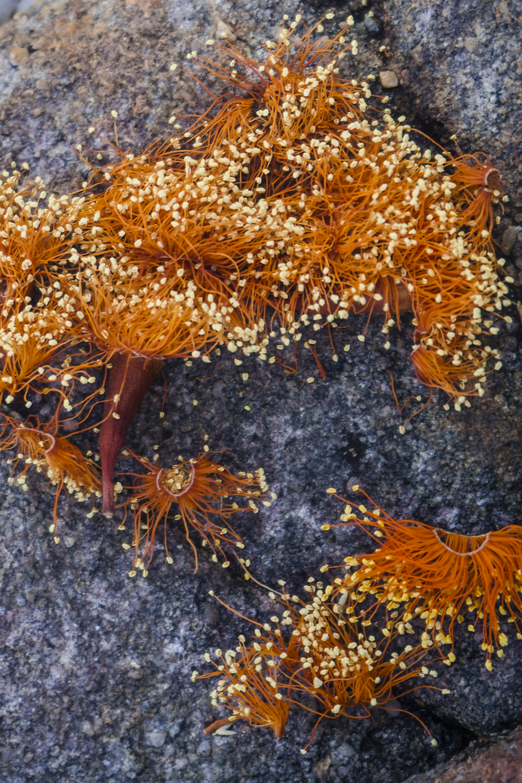 17. Scarlet gum confetti (Eucalyptus phoenicea) II      -14.160926, 132.438967     Jawoyn country, Nitmiluk, NT