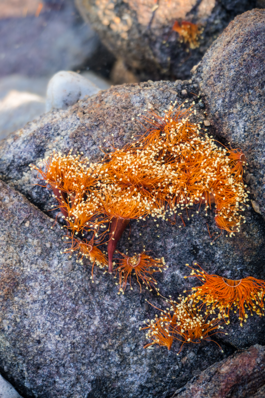 16    Scarlet gum confetti (Eucalyptus phoenicea) I      -14.160926, 132.438967     Jawoyn country, Nitmiluk, NT