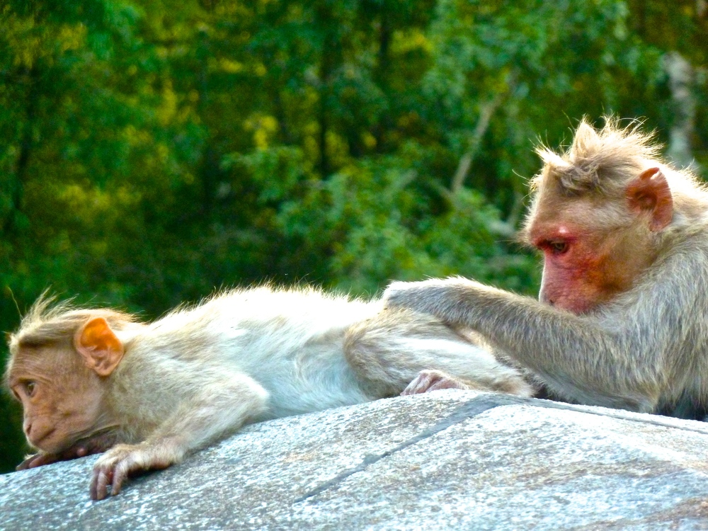 You will always see monkeys in India, but these ones were't trying to steal from us
