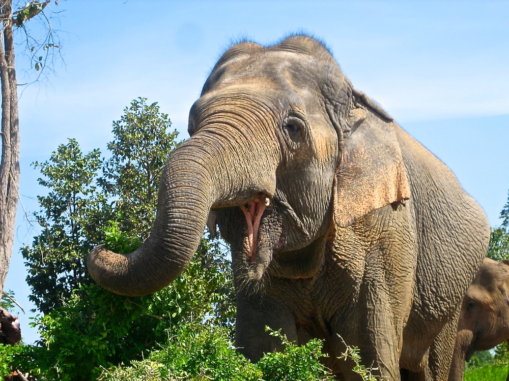 The Surin Elephant Project educates elephant mahouts on ethical animal tourism