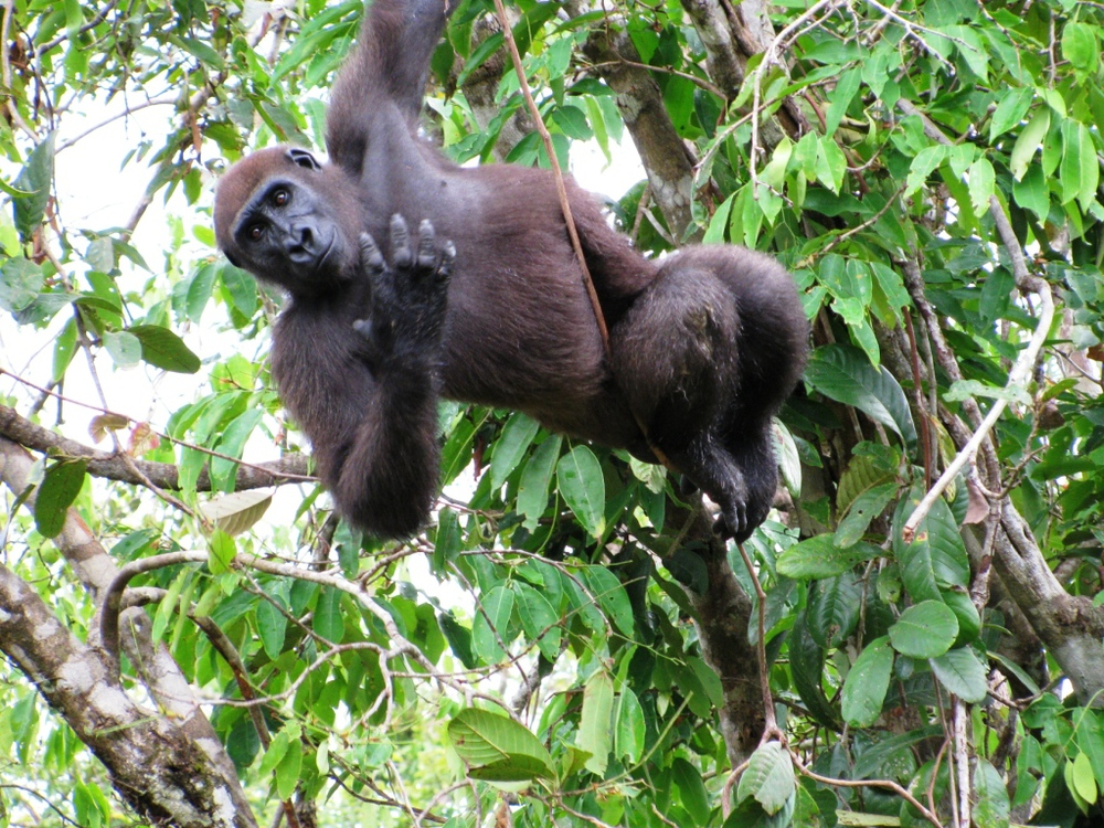 Izowuet swingsfrom trees in his natural enclosure