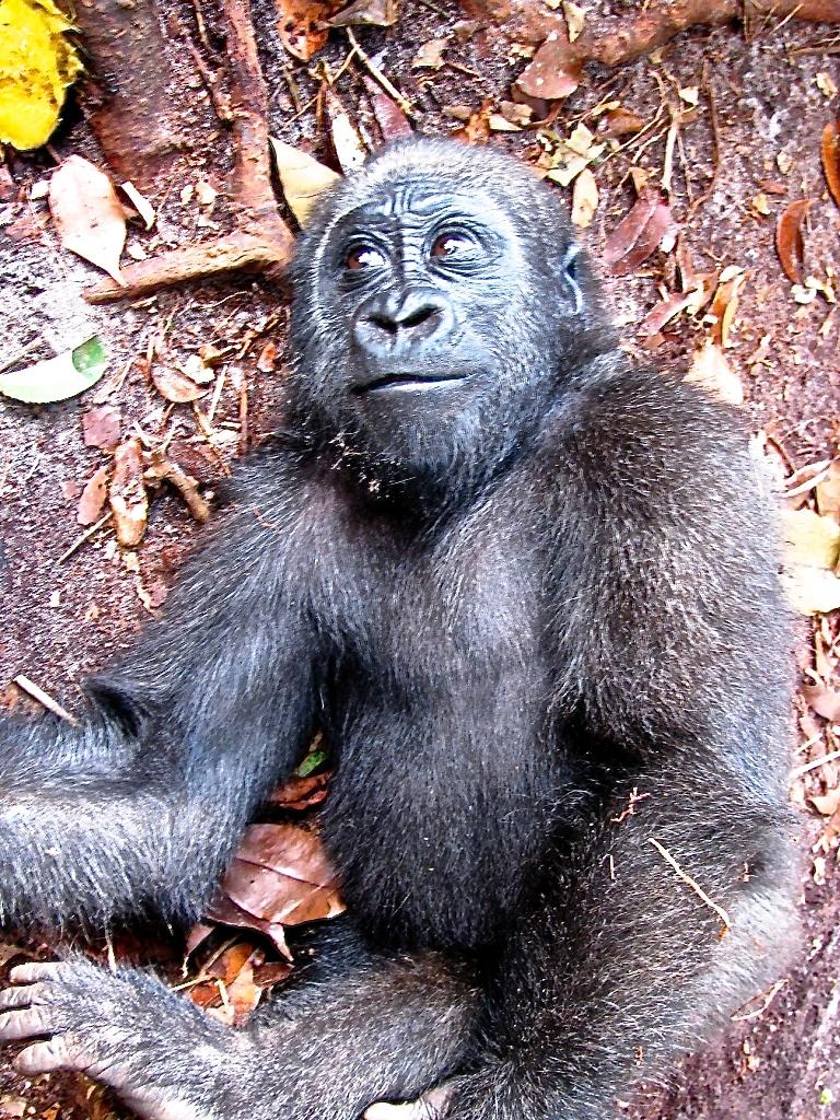 Wanga, the youngest gorilla orphan