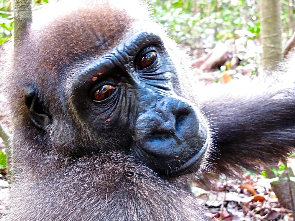 Geminu was taken from a zoo.